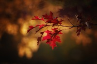 maple-leaves-2895335_960_720.jpeg
